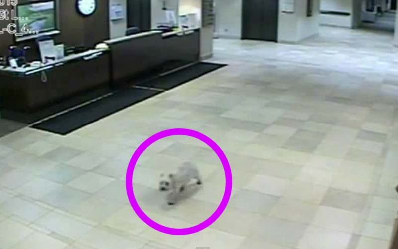 Dog Escapes, Runs 20 Blocks To Visit Owner In Hospital